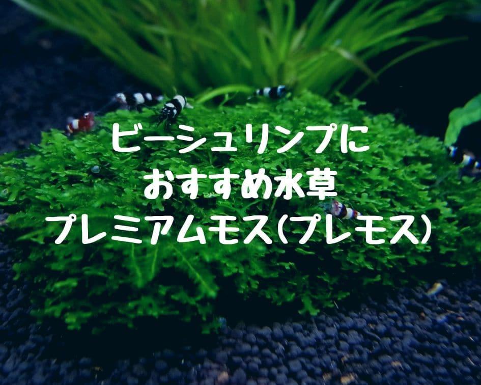 ビーシュリンプにおすすめ水草|プレミアムモス(プレモス)