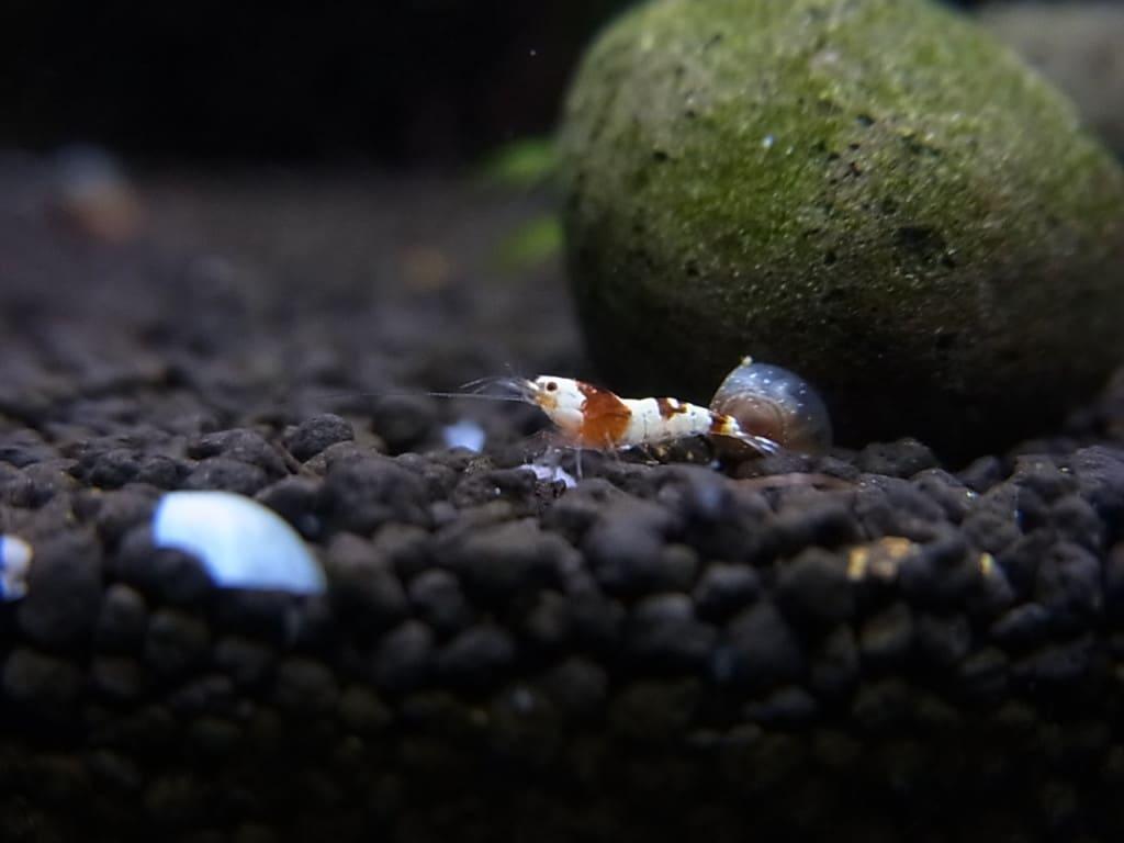 レッドビーシュリンプの稚エビの餌