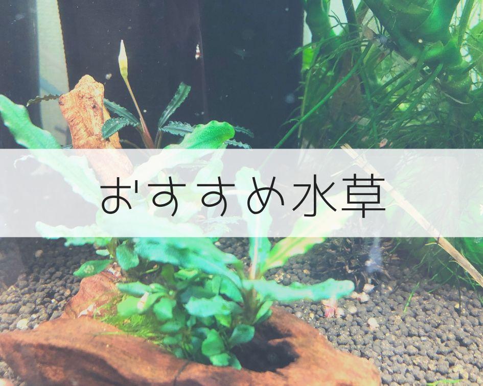 おすすめ水草